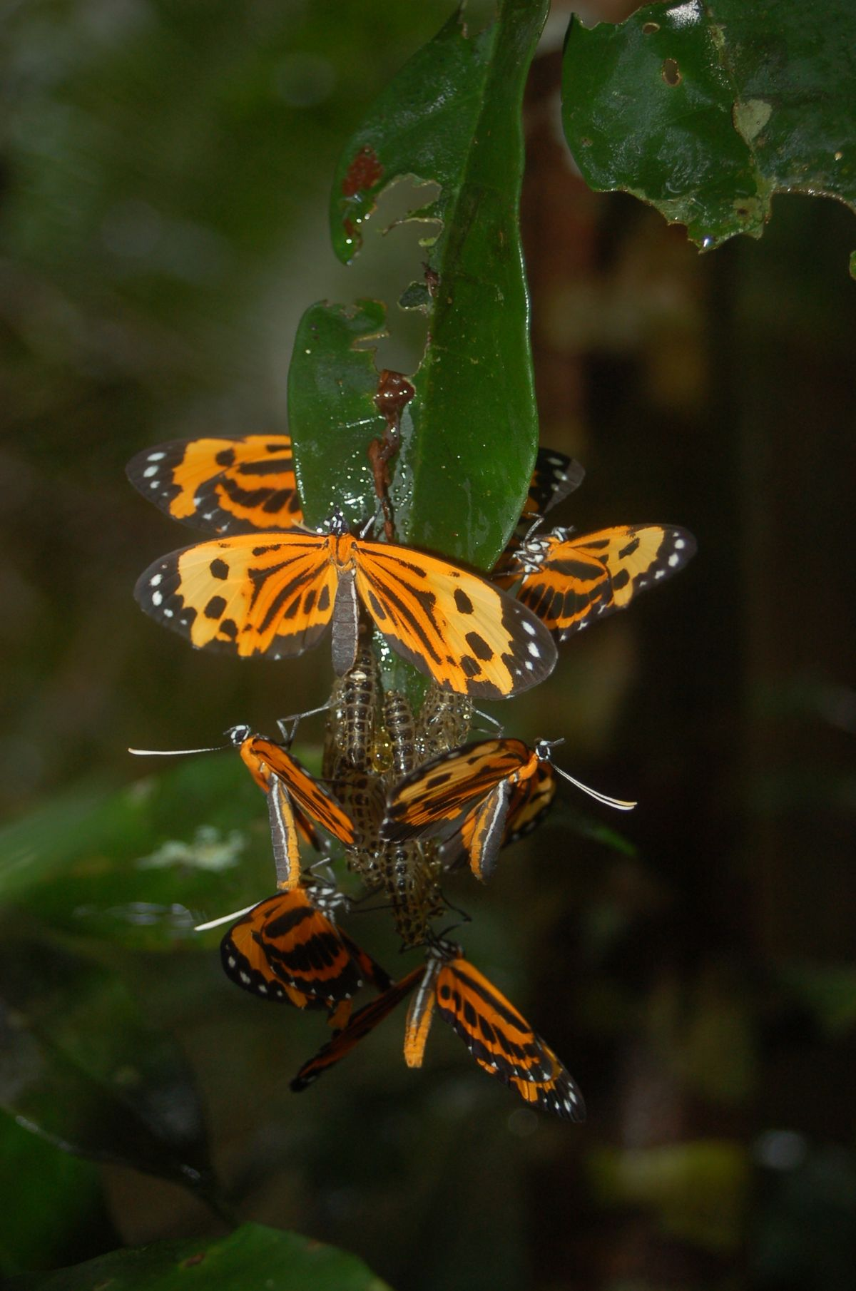 amazon jungle butterfly (28)