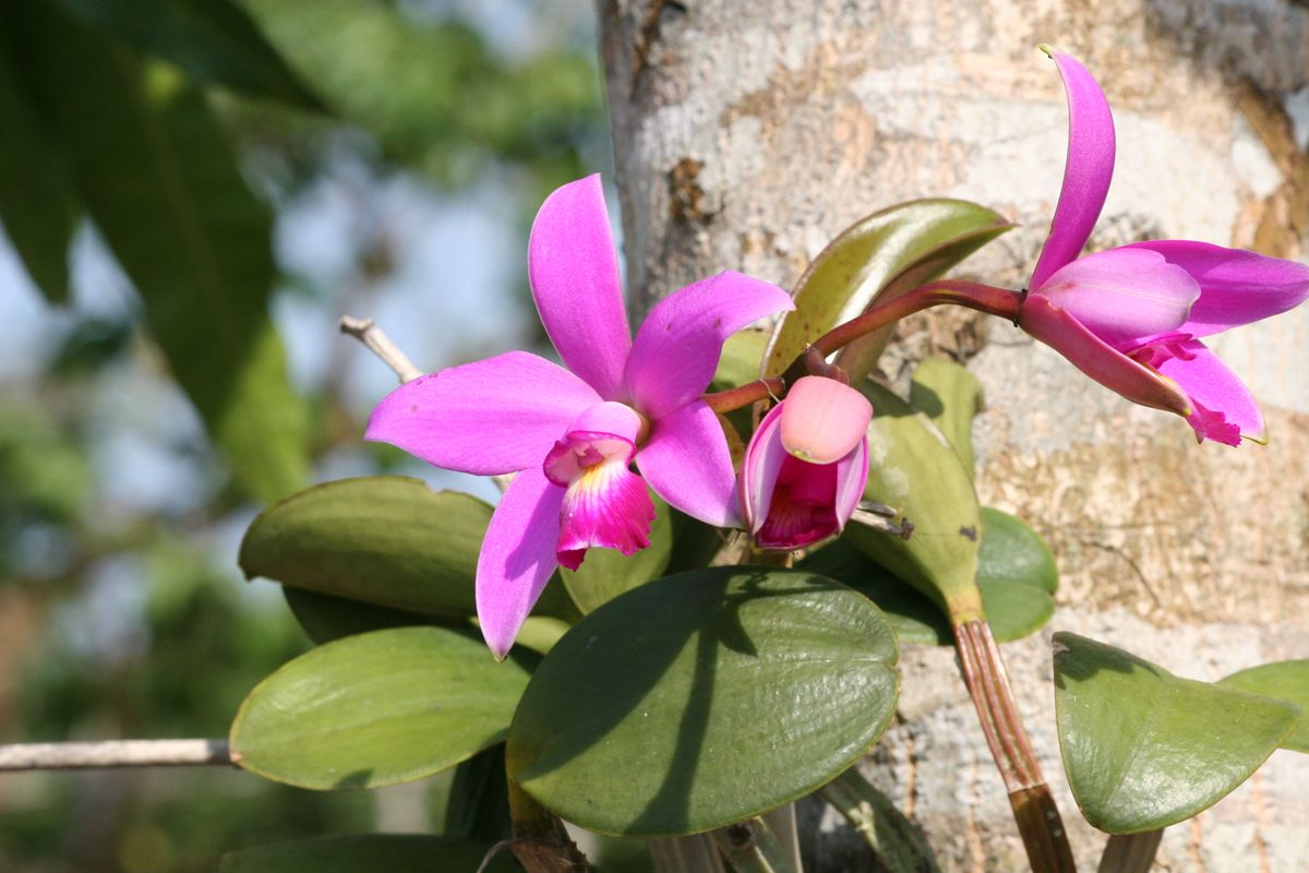 Orchid in the Amazon